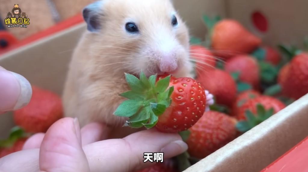 YouTuber「帶鼠鼠採草莓」被罵翻 他拍片道歉:牠們就像我的家人