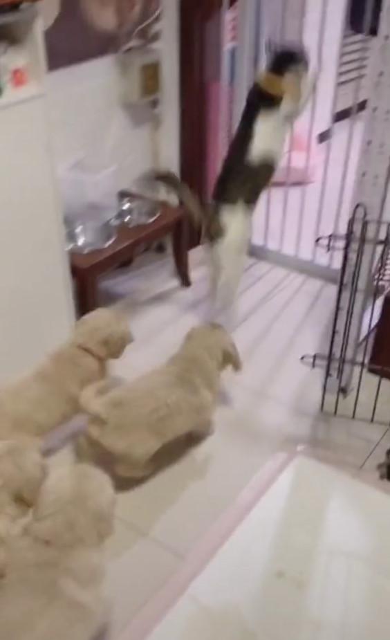 初次見面好興奮!整群「小阿金淹沒貓貓」 喵皇崩潰逃出:放過我