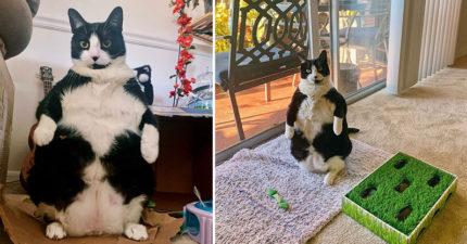 被企鵝附身?貓皇6年來「老爸式雙腳站」挺大肚楠:叫偶企貓!