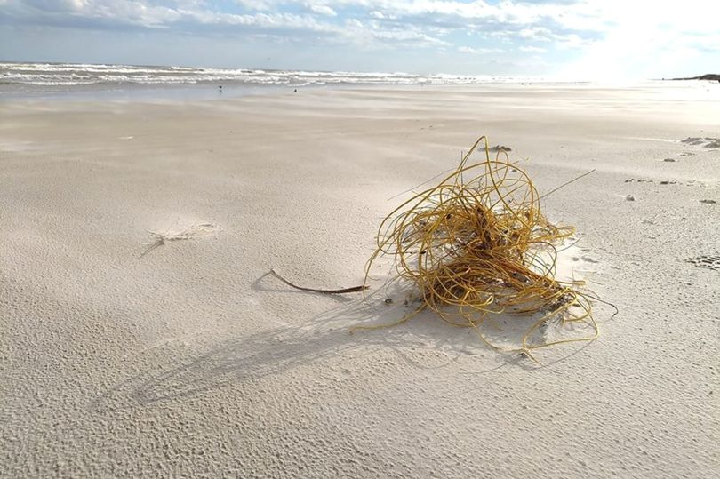 海邊見「黃色塑膠繩」以為是丟棄垃圾 近看嚇怔:「是活的」不要碰!