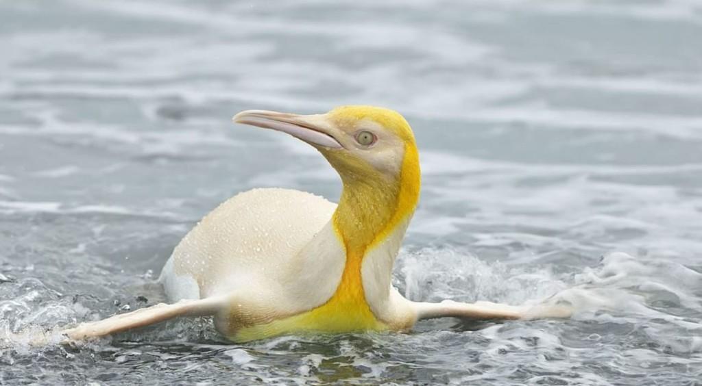 超罕見「黃色企鵝」顏色超吸睛 「黑色羽毛消失」疑患病