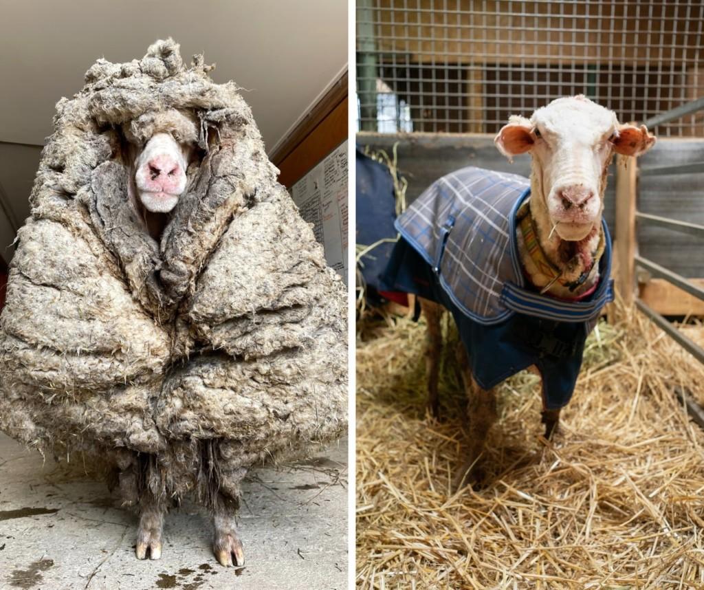 逃家綿羊「迷路5年」變巨毛球!花一小時剃下「35公斤羊毛大衣」:我虛胖