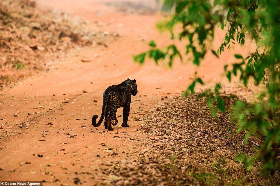 「黑豹」真的存在 他9公尺近拍「深黑閃亮毛皮」...目前數量大幅減少!