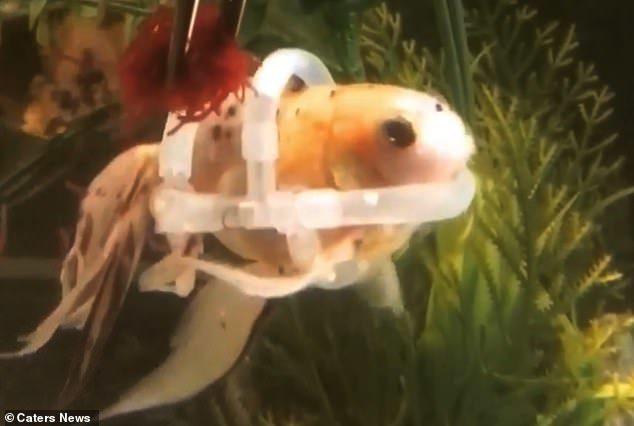 不忍心看牠受苦...主人神打造「魚用救生衣」 小金魚「終於不溺水」