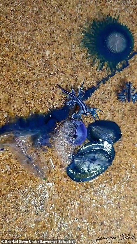 「藍色外星生物」湧現岸邊?學名超霸氣 專家警告:看到「千萬別摸」