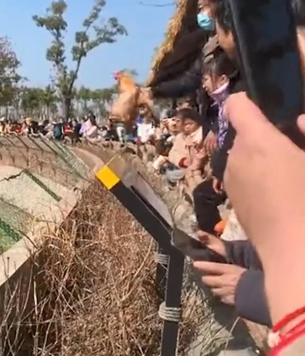 中國動物園讓遊客「丟活雞餵老虎」 「被罵殘忍」園方:正常野獸行為展示