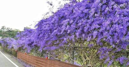 南投「紫花瀑布」遊客瘋拍  園主好心被白眼...忍痛:20年心血全砍了