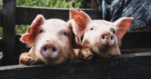 發現女友家是「養豬戶」 台北男急提分手:低階的工作
