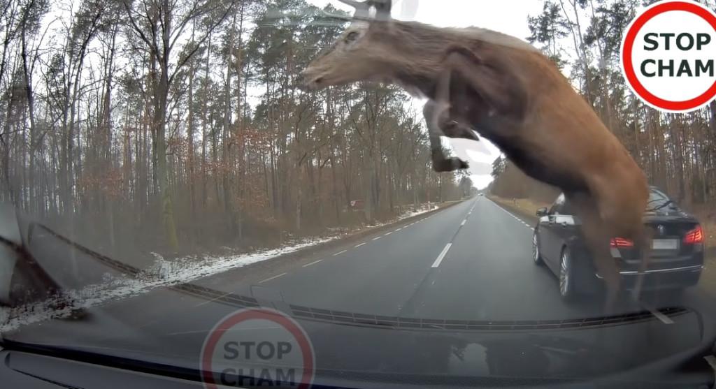 麋鹿過馬路「跳躍閃車」還是撞上 網看笑翻:最後一隻不要亂按空白鍵!