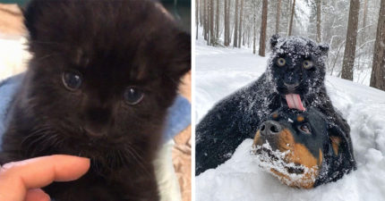 「黑豹寶寶」撿回家養!以為變帥氣猛獸 結果「越長越傻氣」:變大黑貓啦❤
