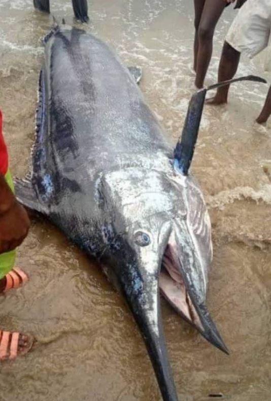 男子捕獲「3公尺巨魚」大方請全村吃 下肚後崩潰:7000萬元沒了