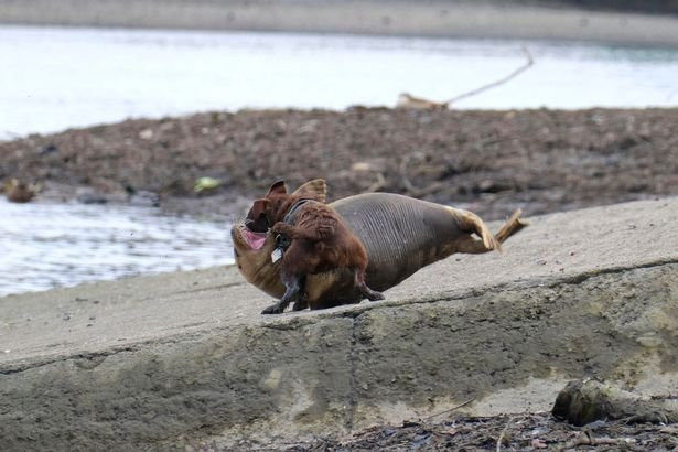 女律師河畔遛狗...害小海豹遭「瘋狂撕咬」!獸醫心碎:只能安樂死