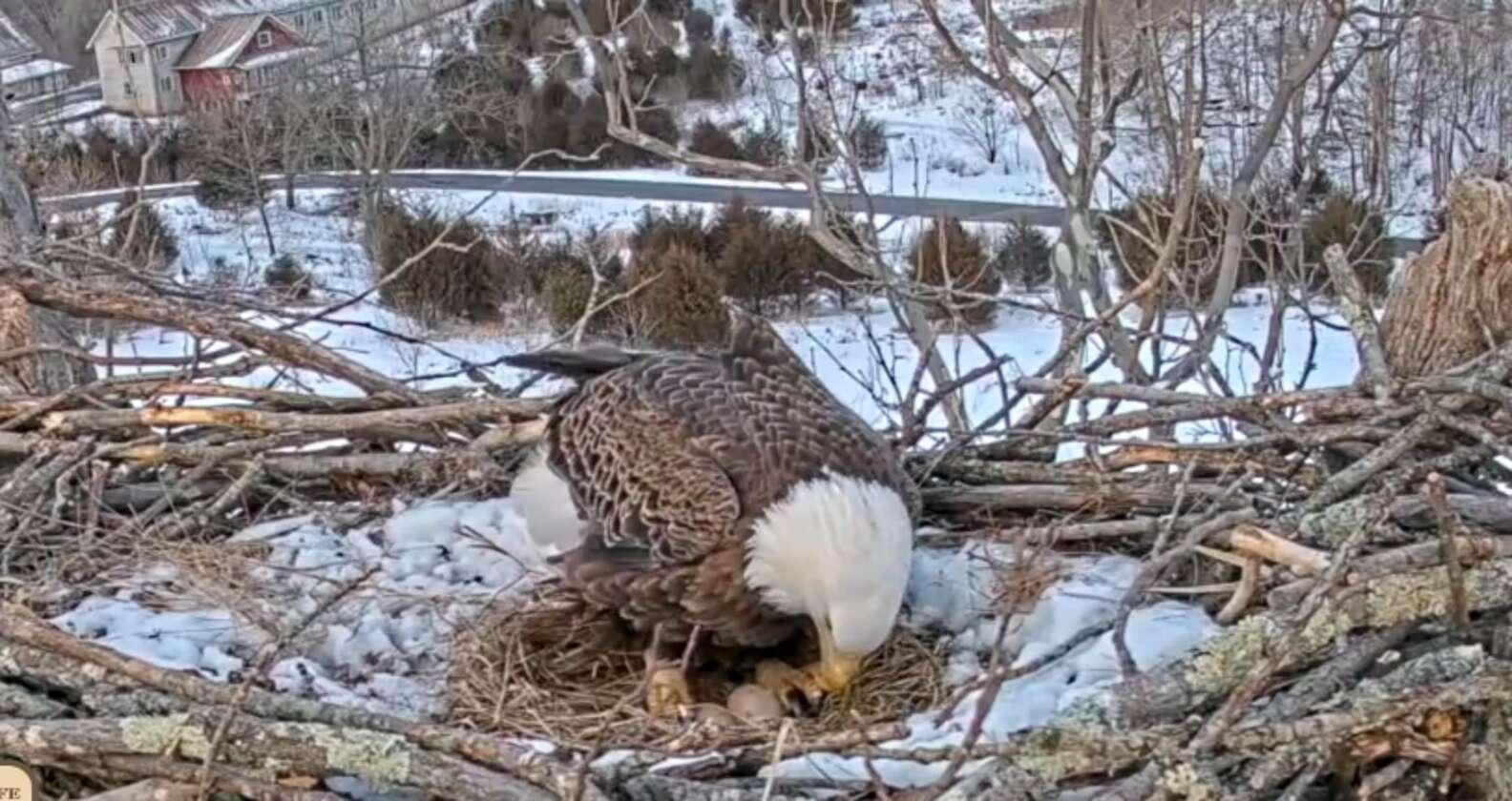 「整隻埋雪裡」還不避難?近看鷹媽「母愛發熱孵蛋」不退縮:守護我的孩子