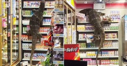 影/7 11驚見「哥吉拉」狂爬貨架!民眾嚇傻:牠在找「金剛」?