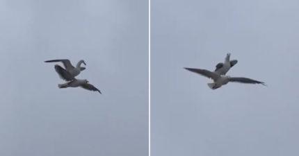 影/飛一半「海鷗騎乘海鷗」搭便車!牠回頭「爆氣抗議」:把我當Uber?