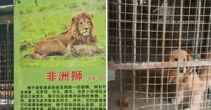 掏錢帶全家去動物園超後悔!中國爸見「非洲獅」無奈安慰孩子:還沒長大