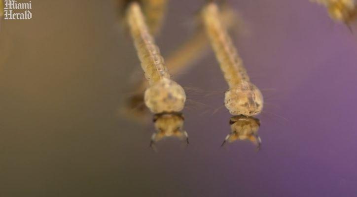 科學家放生「10億基改雄蚊」治病 當地人崩潰:已被咬了9年