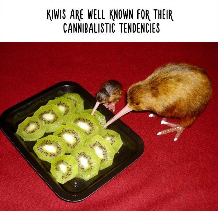 27個你差點就信了「惡搞動物知識」 奇異鳥「會吃同類」超殘忍?