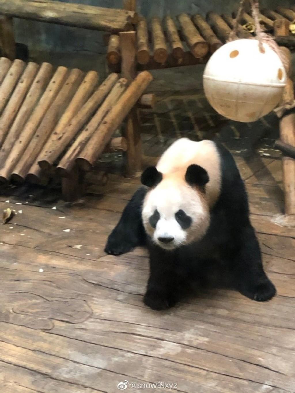 中國小學生去動物園 猛拍玻璃「叫熊貓起床」...整片碎裂