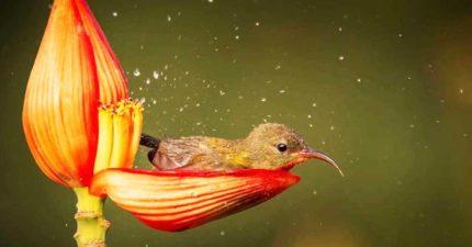迷你小鳥「花瓣當浴缸」爽洗澡!換姿態「仰躺泡」:太舒服啦~