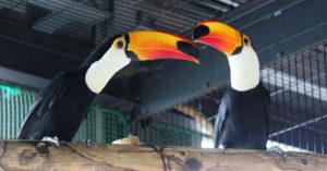 巨嘴鳥「配對8年」生不出寶寶!園方檢查「2隻都母的」驚:有求偶動作