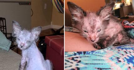善心女領養「掉毛病貓」 長大後「帥到不尋常」一查:是超罕見「狼貓」