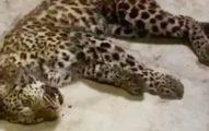 3豹「逃離動物園」 對外隱瞞 民眾驚「街上有豹」園方回:不是威脅