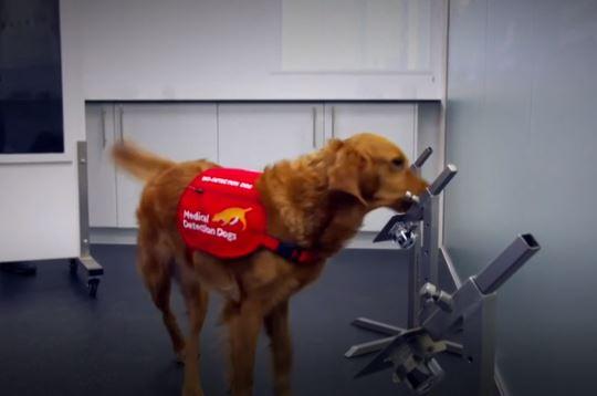 比快篩更強?狗狗「聞出新冠患者」成功率88%