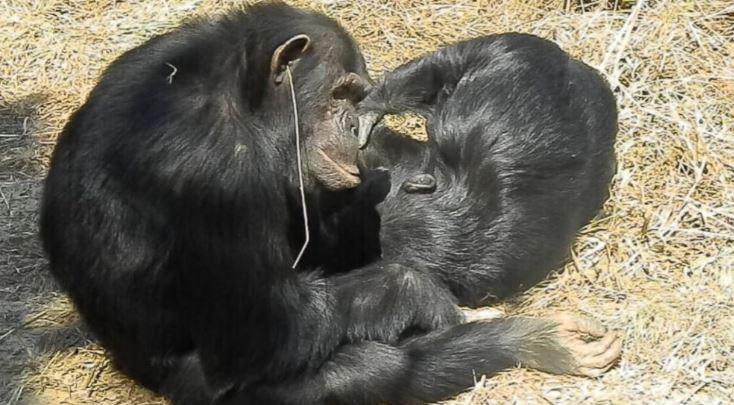 猩猩突然「一根草掛耳朵」同伴還模仿!科學家研究驚:「愛美」戴耳飾
