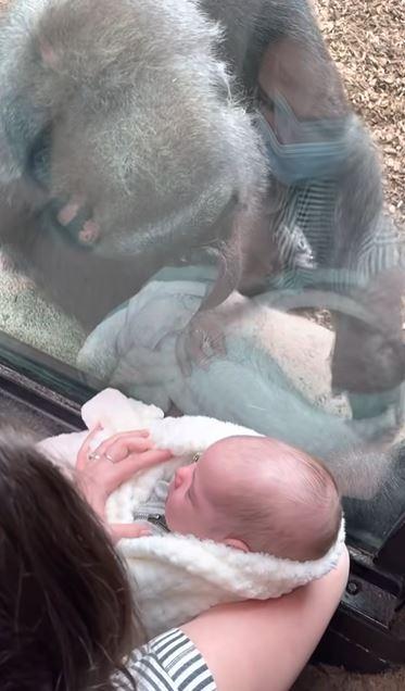 影/大猩猩趴窗「緊盯新生寶寶」 「溫柔眼神」網驚:流露出母愛