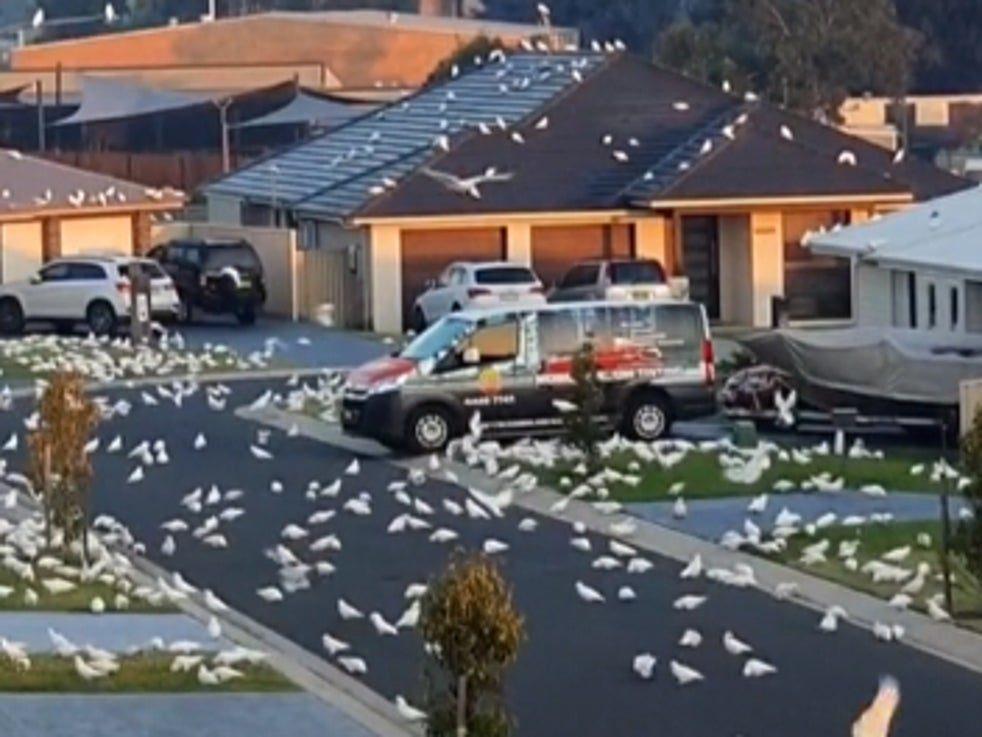 整個小鎮「全都是鸚鵡」像恐怖片!居民怕「反擊會坐牢」只能忍