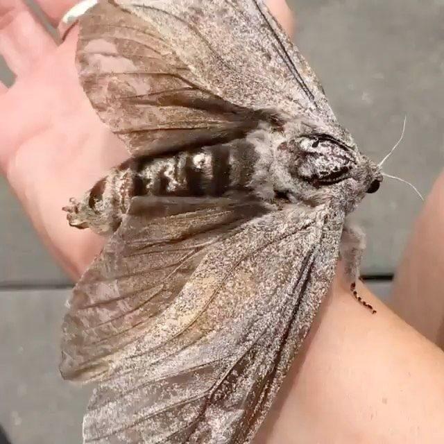 小學挖出「和老鼠一樣大的飛蛾」師生嚇傻!專家:展翼達25公分