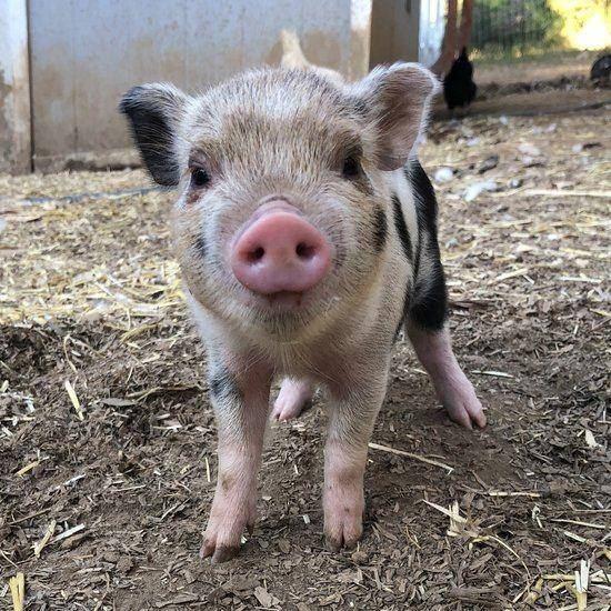 買可愛「迷你豬」回家養 養一陣子「胖成150公斤」她嘆:出門遛豬被側目