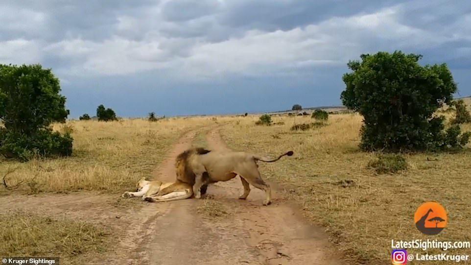 小心翼翼「叫老婆起床」!她「起床氣大爆發」公獅慘變傻貓