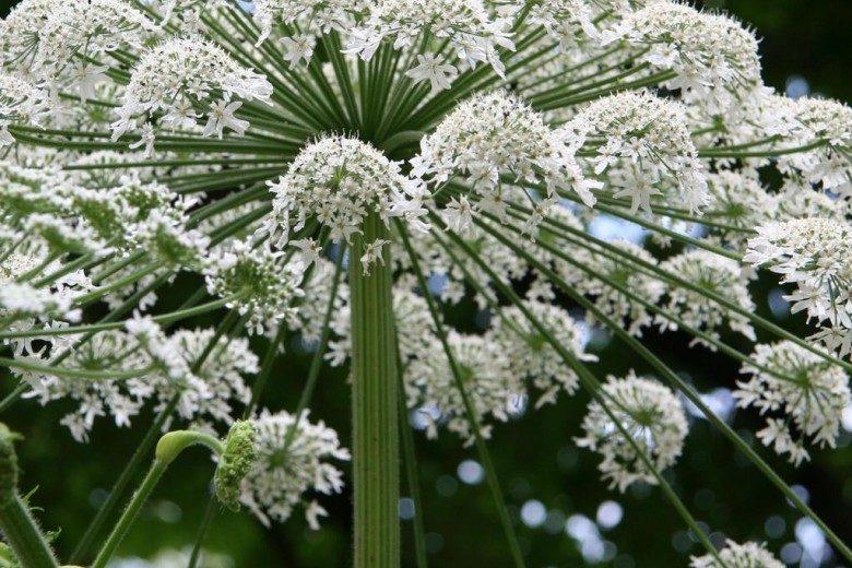 大豕草 Giant hogweed