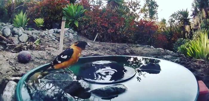 她好奇在後院「放飲水機」 意外拍下「動物泳池趴」每天不同客人!