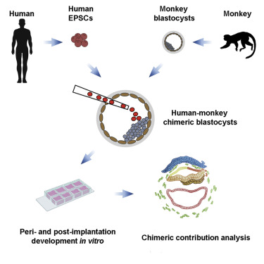 成功培育「人猴嵌合體胚胎」全球首創!科學家望「造福人類」被轟:道德淪喪