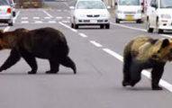 日小學生上學「遇到熊」不小心說早安 結局超展開網笑:社交障礙嗎
