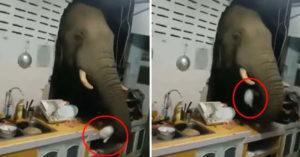 影/半夜廚房乒乒砰砰「大象破牆而入」!屋主無奈:牠每天都來