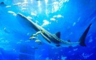 13年壽命創紀錄...沖繩美麗海水族館「8米母鯨鯊」病逝