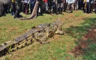 巨鱷「屠村」吃掉數十人 被捕「逃過死刑」還大肆繁衍子孫