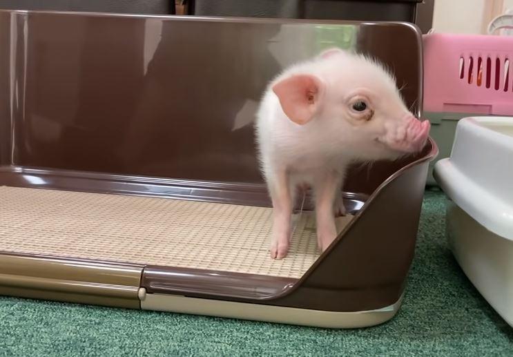 頻道「100日後會被吃掉的豬」YouTube爆紅!網見「豬肉畫面」越看越心寒