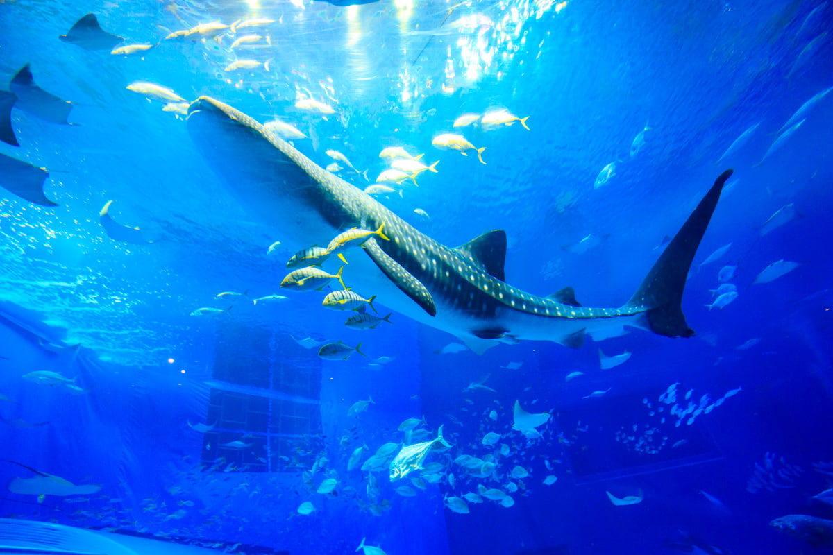沖繩水族館母鯨鯊病逝