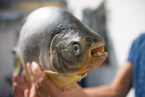 蛋蛋杀手鱼