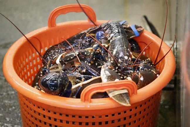 禁止活煮龍蝦