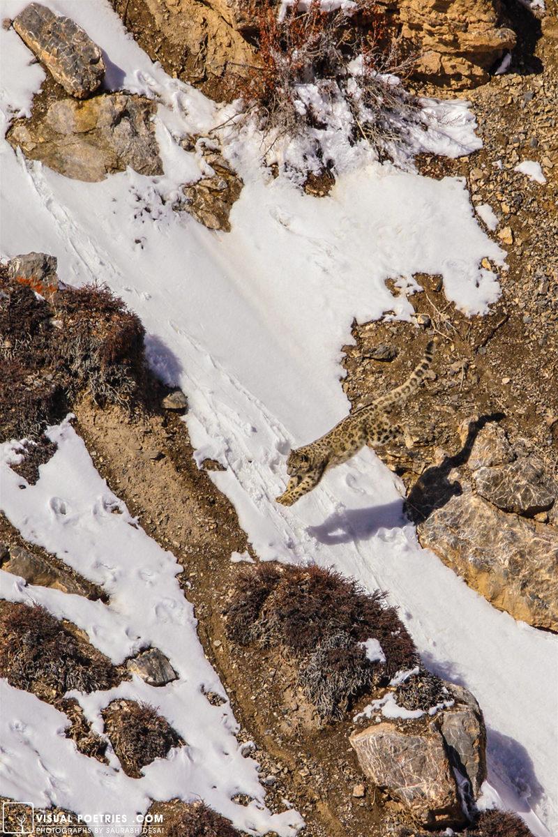 雪豹在哪裡