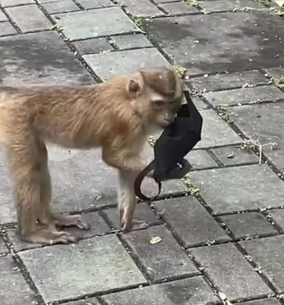 猴子戴口罩