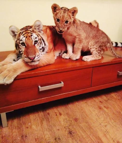 老虎變貓咪